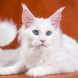 Самая крупная порода кошек Мейн Кун: окрас в таблице, узоры и отметины