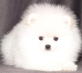 Сколько стоит щенок шпица