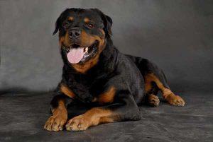 Разновидности сторожевых пород собак для частного дома