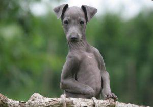 Итальянская борзая собака левретка: изящество и грациозность