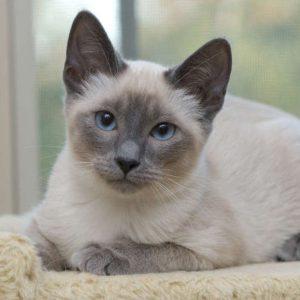 Изящный домашний питомец с уникальным окрасом Сиамская кошка: подробное описание всех цветов