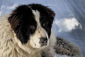 Боснийская овчарка торньяк: характеристика и особенности породы