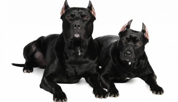 Секреты правильного воспитания Питбуля: чем кормить щенка и как приучить к дисциплине?