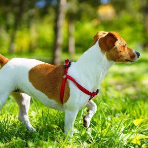 Одна из лучших собак-компаньонов Джек Рассел терьер: характеристика и отзывы