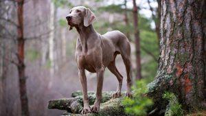 Европейская собака веймаранер: особенности характера питомца
