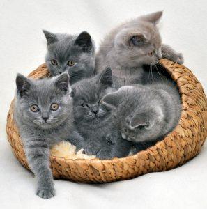 Все о выращивании самых милых кошек Британские короткошерстные: описание породы, отзывы хозяев