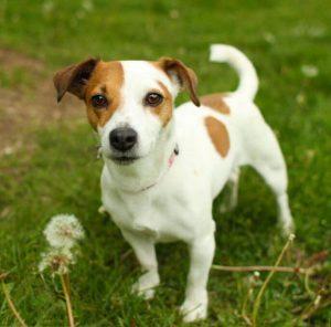 Обаятельная и умная собака-компаньон Джек Рассел терьер: описание породы и характер