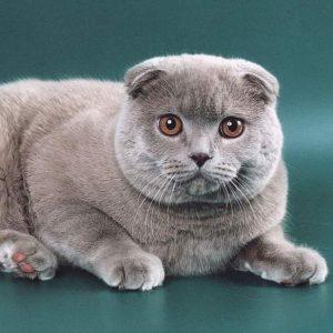 Самые популярные и особенные клички для Шотландских вислоухих котов и кошек: описание породы