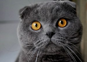 Характер британской вислоухой кошки, уход за ней, цена на плюшевых питомцев