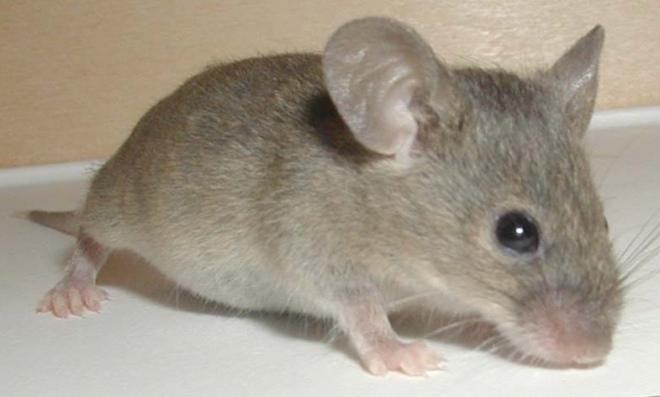 мышь крупным планом