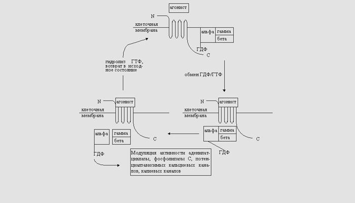 Схема действия опиоидов на рецепторы
