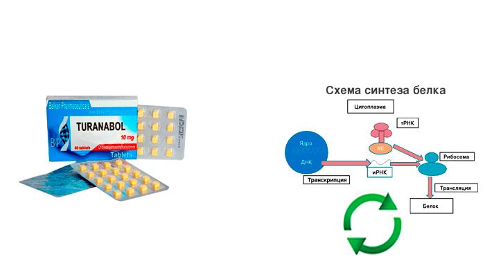 Влияние лекарства Туринабол на увеличение процесса синтеза белка
