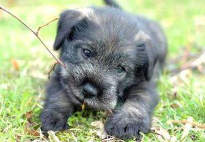 щенок миттельшнауцера