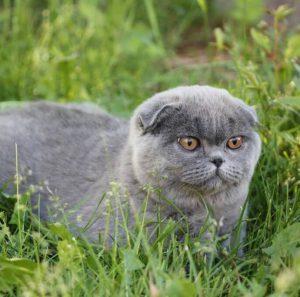 Как не стать обманутым поупателем котенка в чем разница и чем отличаются Британская кошка от Шотландской?