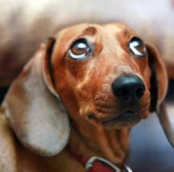порода собаки такса