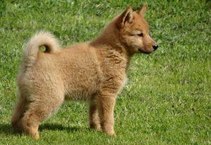 щенок карело-финской лайки