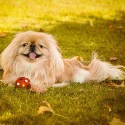пес пекинес характеристика