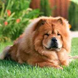 Чау-чау особенности породы, воспитание и уход за собакой