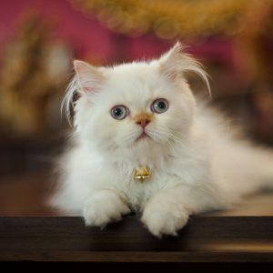 Самая пушистая и хмурая порода кошек Персидская: сколько они живут в домашних условиях, описание