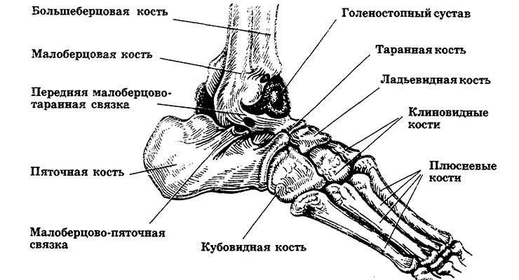 Кости голеностопного сустава