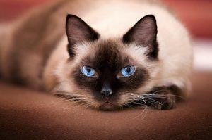 Продолжительность жизни сиамских кошек при правильном уходе