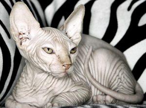 Кошки лысый сфинкс: подробное описание, советы по содержанию