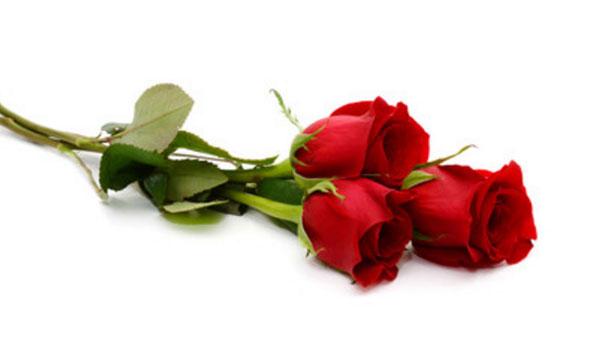 Три розы лежат. Бутоны закрыты. Вид цветов свежий