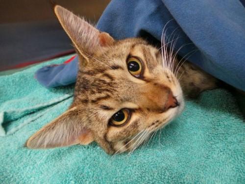 Стерилизованные кошки ловят мышей