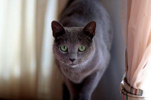 Царственная русская голубая кошка: характер и содержание домашнего питомца