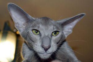 Ориентальная кошка: советы по уходу за утонченной красавицей с Востока