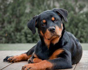 Собака ротвейлер: как содержать питомца крупного размера