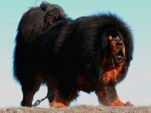 красивый тибетский мастиф