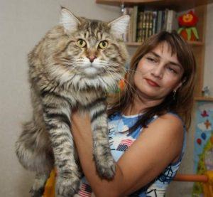 Вес взрослого мейн куна и котенка по месяцам: как не перекормить гиганта?