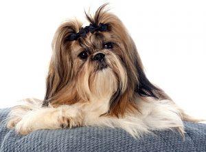 Гордые тибетские собачки ши тцу: характеристика питомца
