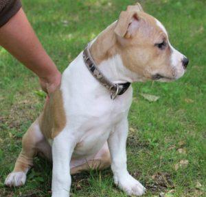Невероятно сильная и ласковая порода собак Стаффордширский Терьер: характер и воспитание