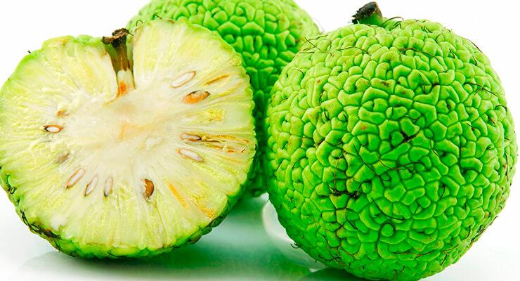 Что лечит адамово яблоко (маклюра), применение в народной медицине и способы лечения суставов