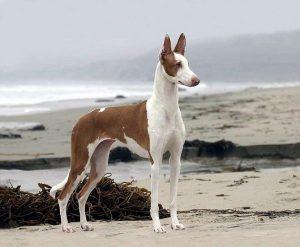 Настоящая охотница поденко ибиценко: характеристика собаки