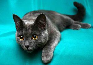 Порода корат: характер котов с древним восточным происхождением