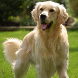 Ретривер порода собаки