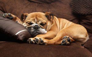 Английский бульдог: описание породы, ее плюсы и минусы, характер животного