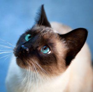 Топ лучших и уникальных имен для Сиамского кота и кошки: как назвать домашнего любимца?