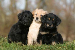 Немецкая сторожевая собака ховаварт: сочетание выносливости и героизма