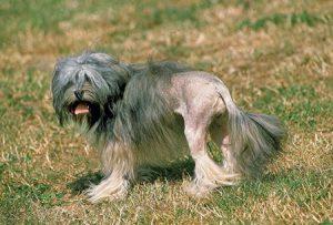 Комнатная малая львиная или лион бишон: характеристика породы