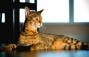 Порода саванна: стоимость гигантской кошки, ее нрав