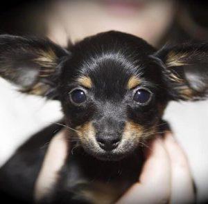 Секреты крепкого здоровья собак породы Той Терьер: болезни и лечение, отзывы о питомцах