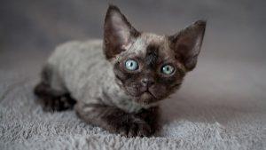 Маленькие эльфы девон рекс: коты, не вызывающие аллергию