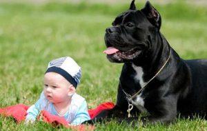 кане-корсо и ребенок