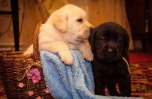 Выбор клички для щенка лабрадора: мальчика и девочки