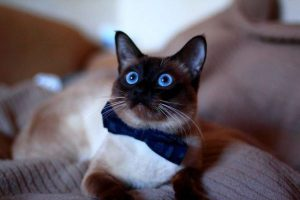 Тайский кот: особенности характера и содержания
