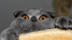 Знакомьтесь: Шотландская вислоухая кошка (скоттиш фолд). Особенности породы и характер питомцев
